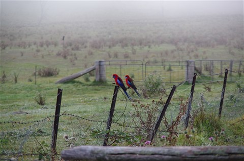 Crimson rosellas in the morning mist