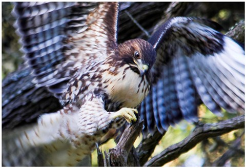 Hawk In Golden Gate Park, SF