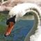 iop Swan2