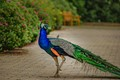 Peacock at the LA Arboretum-8363