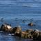 Pelicans-Pacific-Grove-Ca.