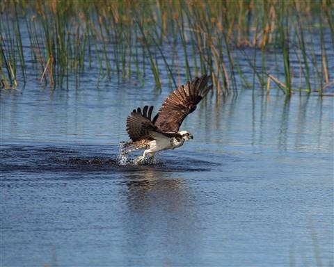 osprey_04