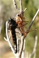 Last hug for a cicada