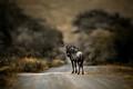 wildebeest in brown
