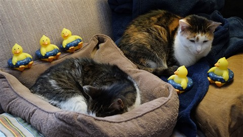Cats Excited by rubber duckies