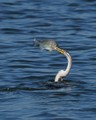 Darter with catch