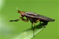 Marshfly Limnia