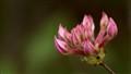 Wild Azalea bud