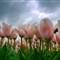tulips-1040061