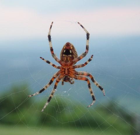sh50-spider