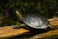 130902 Rosebud Turtle