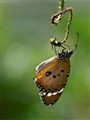 Just a Butterfly