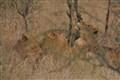 Timbavati Lions June 2012_0004