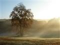Tree in morning fog