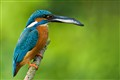 Kingfisher caught a big fish