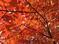 Red Leaves on the Tree