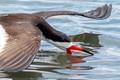 Black Skimmer skimming...