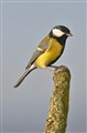 Great Tit (uk)