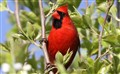 Cardinal in a Pear Tree