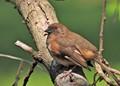 Eastern Towhee (Female)