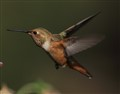 Hummer Summer - Study of Flight