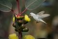 White Leucistic Hummingbird