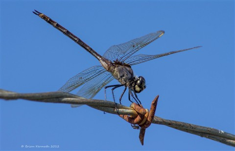 Blue dasher dragonfly (Pachydiplax longipennis) with parasites on barbed wire fence with crab spider below
