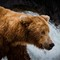 Brown bear (Ursus arctos) at Brooks Falls