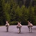 3 three donkeys