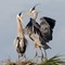 Great Blue Herons - Nest Building