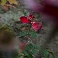 Fall among roses
