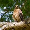 Red Shouldered Hawk Down the Barrel