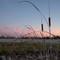 Sunset-Reeds