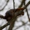 red_squirrel_4dpr