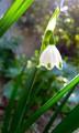 Leucojum, or Spring Snowflake