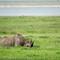 Black Rhino - Ngorongoro Crater