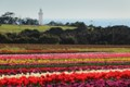Across the tulip field
