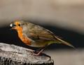 Robin playing