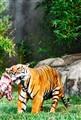 Indochinese Tiger feeding
