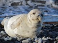 Young Harbor Seal