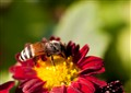 honeybee lowres