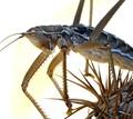 Saga Pedo Bush Cricket