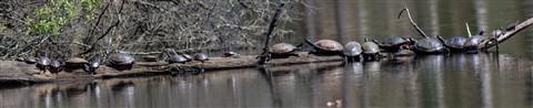Turtles-of-Lake-Oberst
