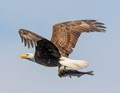 Bald Eagle with a Bass