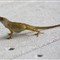Lizzard1280_IMG_3533