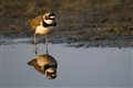 A little Ringed Plover with reflection...