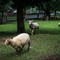 Sheep Race-1