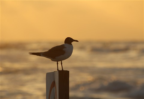 Galveston Seagull