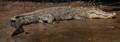 Crocodile panorama
