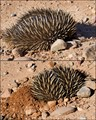 The short nosed echidna or spiny anteater is found in Australia and some parts of New Guinea. The family name is Tachyglossidae and with the platypus is a Monotreme or egg-laying mammal. When threatened they either roll into a ball with erect spines or dig into soft dirt to protect head and limbs as this one has done.